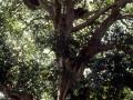 Das Wort Sequoia...
